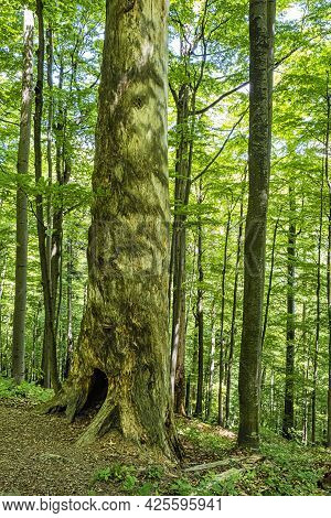 Big Tree, Primeval Forest Stuzica, National Park Of Poloniny, Slovak Republic. Seasonal Natural Scen