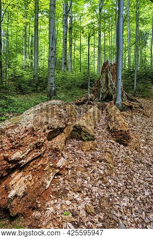 Dead Tree, Primeval Forest Stuzica, National Park Of Poloniny, Slovak Republic. Seasonal Natural Sce