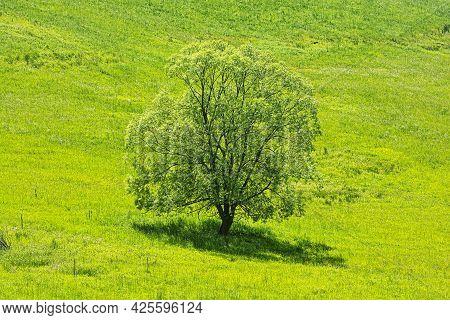 Big Tree In The Green Meadow, Stara Lubovna, Slovak Republic. Seasonal Natural Scene.