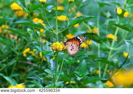 Dana Us Chrysalis, Also Known As The Plain Tiger, African Queen, Or African Monarch, Is A Medium-siz