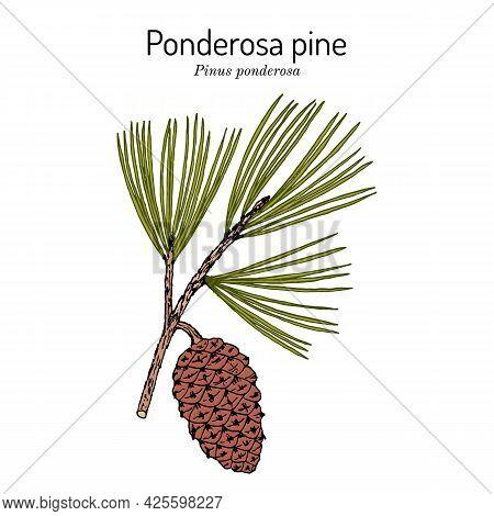 Ponderosa Pine Or Western Yellow-pine Pinus Ponderosa , State Tree Of Montana. Hand Drawn Botanical