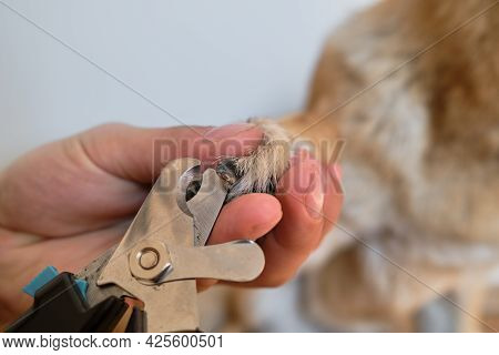 Man Cuts Dogs Claws With Special Scissors And Forceps At Home. Owners Hands Take Care Of Pets Health
