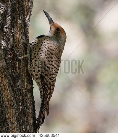 A Northern Flicker Perched On The Side Of A Tree Getting Ready To Do Start Pecking On The Bark.
