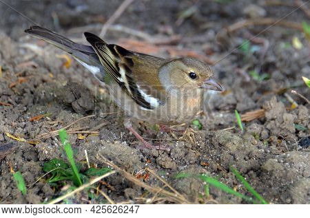 The Common Chaffinch Or Simply The Chaffinch Is A Common And Widespread Small Passerine Bird In The