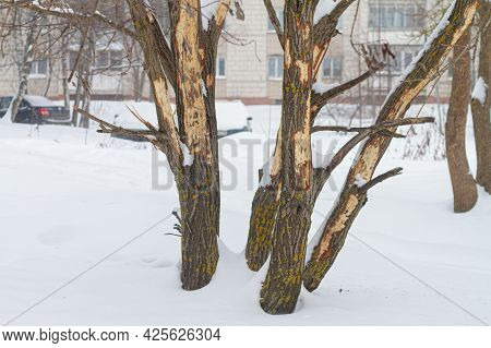 A Tree With Damaged Bark In Winter, The Bark Is Hollowed Out Of The Tree By A Woodpecker In Search O