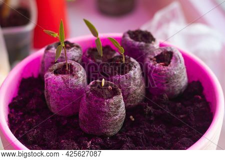 Small Seedlings Of Vegetables Peppers Are Grown In Capsules With Soil Under The Red Light Of An Led