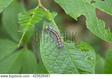 Gypsy Moth Caterpillar Close-up. The Caterpillar Eats The Foliage. Macro.