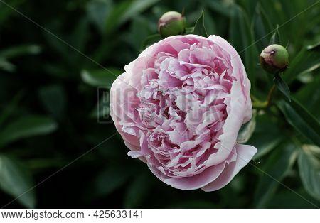 Soft Pink Peony Close-up. Nature Flower Background. Pink Peony Flower On A Green Background.