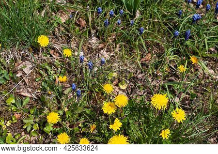 Close-up Of Yellow Dandelions And Blue Grape Hyacinths In An Uncultivated Meadow