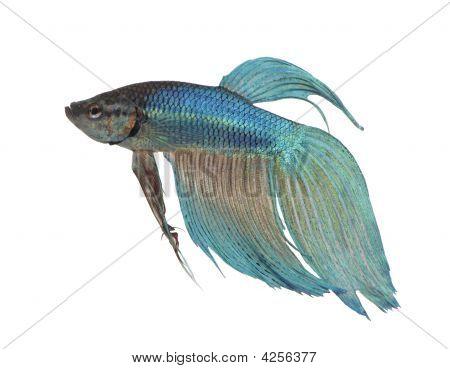 Siamese Fighting peixe azul - Betta Splendens