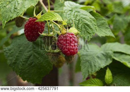 Ripe Red Raspberries On A Branch With Green Leaves, Not Ripe Berries Raspberries, Summer Landscape