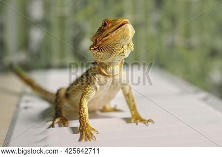 Sandy Lizard With Yellow-brown Scales. Growing Reptiles At Home. An Amphibious Dragon With Brown Spi