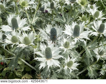 Eryngium Sea Holly Bracts And Flower Buds