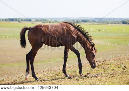 Handsome Brown Young Horse Or Colt Grazing On The Field