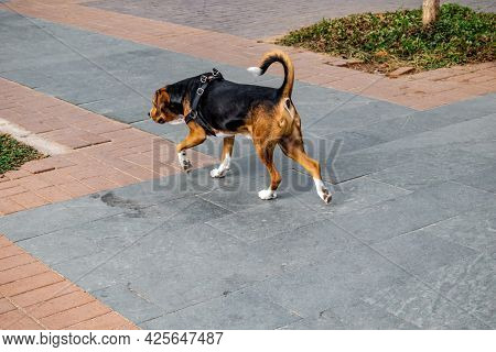 A Dog With A Harness Walks Along A City Street - Back View. Lonely Lost Pet Dog On Paving Slab Surfa