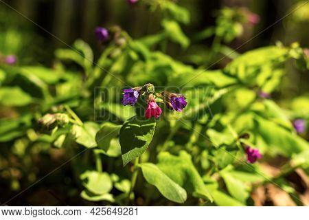 Purple Blue Pink Flowers Of Lungwort Pulmonaria Medicinal Forest Uncultivated Plan Early Spring On G