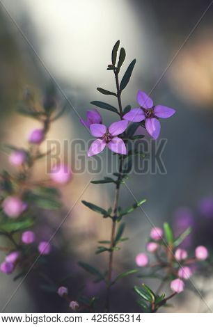 Pink Flowers Of Australian Native Boronia Ledifolia, Family Rutaceae. Growing In Sydney Woodland, Ns