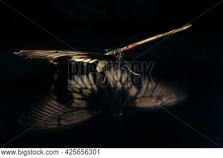 Large Tropical Butterfly Papilio Lowi On A Black Background Of Glass With Reflection . Butterfly Dri