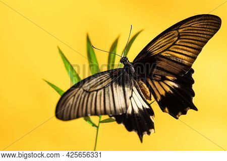Large Tropical Butterfly Papilio Lowi On Green Sheet Of Shading, Yellow Background