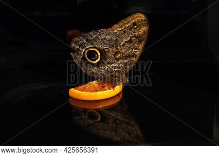 A Large Tropical Owl Butterfly Caligo Drinks Orange Nectar. View From The Side. Black Glass Backgrou