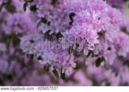 Beautiful Closeup View Of Spring Purple Wild Rhododendron Blooming Flowers, Ballinteer, Dublin, Irel