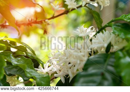 White Coffee Tree Blossom And Ripe Coffee Beans On Branch With Water Drop. Close Up Insect Bee With
