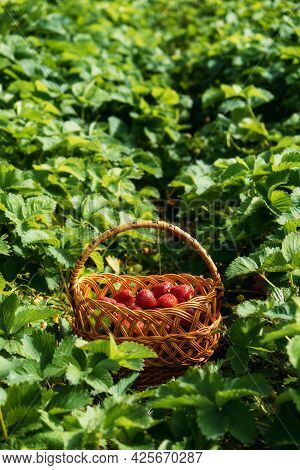 Picking Fruits On Strawberry Field, Harvesting On Strawberry Farm, Strawberry Crop. Fresh Ripe Organ