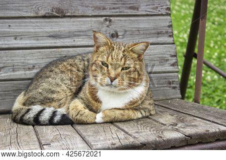 Tabby Cat Walking On A Wooden Deck. Portrait Of A Pet. Limited Depth Of Field.