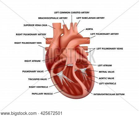 Realistic Cross-section Heart Anatomy With Descriptions. Diagram Of Human Heart Illustration.
