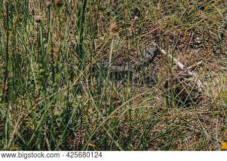 Close Up View Of Poskok Snake (horned Viper) Head Hidden In Dry Grass. Most Dangerous Snake In Area.