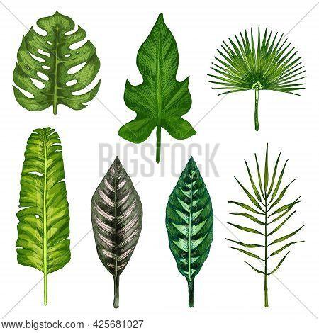 Set With Different Leaf. Calathea Ornata And Warscewiczii, Banana, Chamaedorea, Chamaerops, Monstera