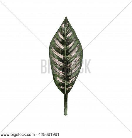 Calathea Ornata Leaf. Vintage Vector Hatching Color Hand Drawn Illustration Isolated On White Backgr