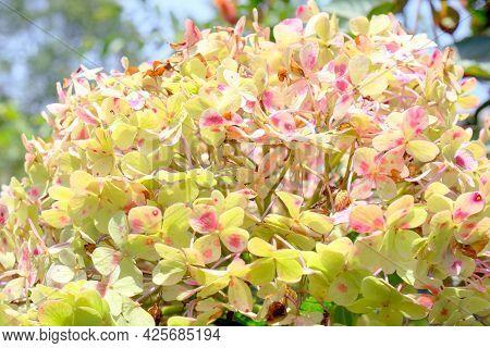 Hydrangea Macrophylla - Close Up Detail Of Hydrangea Flower. Hydrangea Flowers In Bloom