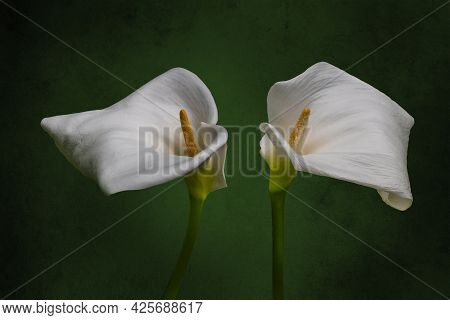 Two White Calla Lilies Isolated Over Vintage Green Background.