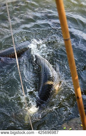 Fishing For Large Carp In Thailand. Fishing Tourism.