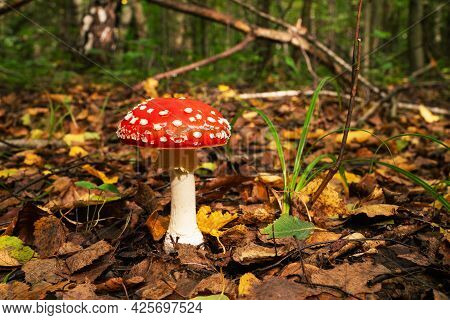 Toadstool At The Forest . An Adult Large Fly Agaric With An Open Hat In An Autumn Forest .