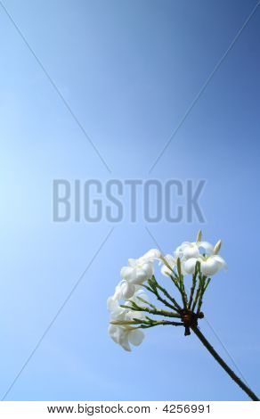 Sweet White Flowers With Clear Blue Sky