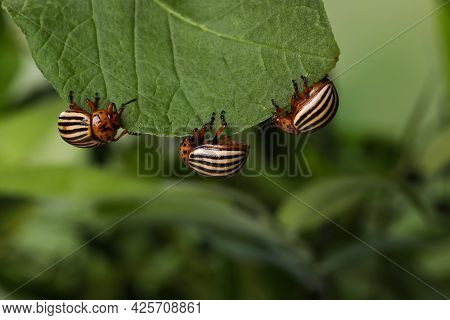 Colorado Potato Beetles On Green Leaf Against Blurred Background, Closeup. Space For Text