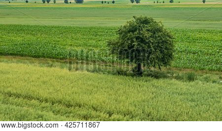 Rape Field With A Lonely Tree From Above, Podlaskie Voivodeship, Poland, Europe