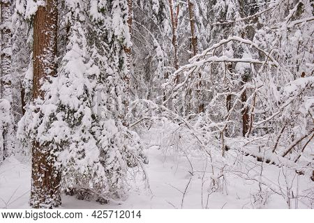 Wintertime Landscape Of Snowy Coniferous Tree Stand With Pine Trees In Foreground, Bialowieza Forest