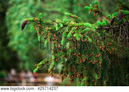 Nature Background With Spruce. Garden Centre, Plant Nursery. Spruce Branch And Small Cones