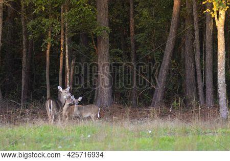 Three Whitetail Deer Near A Treeline In Hoke County North Carolina