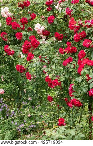 A Bush Of High Roses Woven Red In The Garden. A Wall Of Plants. Gardening And Breeding Of Rose Varie