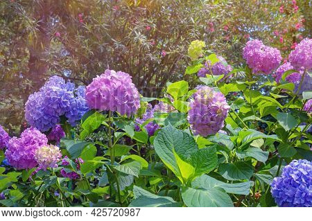 Colorful Hydrangea Flowers - Hydrangea Macrophylla - In Garden On Sunny Summer Day