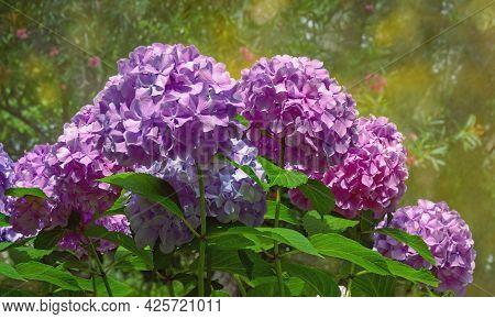 Beautiful Hydrangea Flowers - Hydrangea Macrophylla - In Garden On Sunny Day