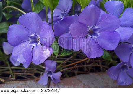 Periwinkle Vinca Minor Blooming Near To The House. Home Garden In Spring Time