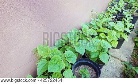 Young Green Paulownia Tree. Seedling Of Paulownia Tomentosa In Pot. Plant Nursery Of Paulownia Trees