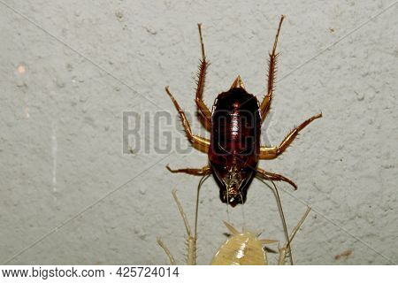 Cockroach Turns Red Skin To White. Red And White Cockroach.