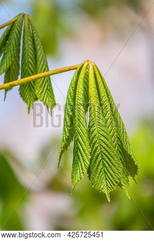 Green Chestnut Leaves In Beautiful Light. Spring Season, Spring Colors. Aesculus Hippocastanum, The