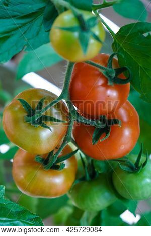 Beautiful Red Tomatoes. Gardening Tomato Photograph With Copy Space.